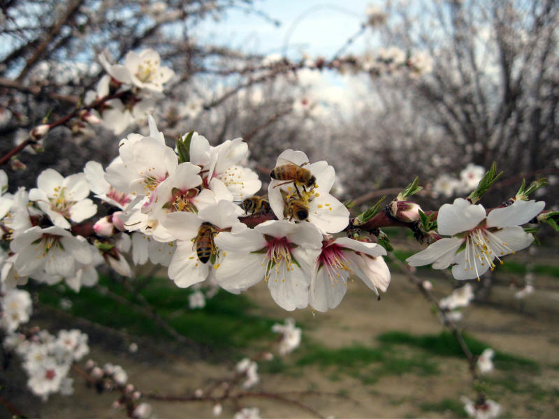 FILE - In this Feb. 23, 2011 photo, bees pollinate almond trees at an orchard near Bakersfield, Calif.  In 2011, for the first time ever, the value of the California almond crop surpassed the state's iconic grape industry to move into second place, behind dairy, making almond producing land one of the highest priced and most sought-after in the region. The demand for almonds is driven largely by the newly-minted money-spending middle classes in China and India. (AP Photo/Gosia Wozniacka, File)