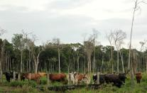 Cows graze in a deforested pasture in Brazil's Amazon located in the the municipality of Itapua do Oeste