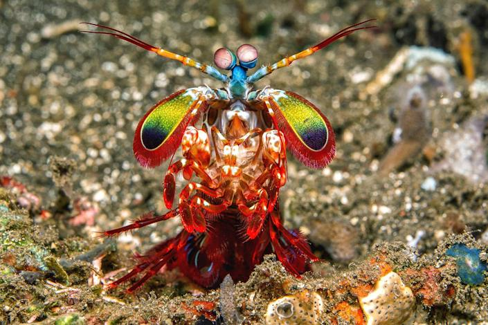"""<p>The very colorful mantis shrimp typically lives in shallow tropical waters, and they're known to be somewhat <a href=""""https://www.wired.com/2014/01/absurd-creature-of-the-week-4/"""" rel=""""nofollow noopener"""" target=""""_blank"""" data-ylk=""""slk:feisty little things"""" class=""""link rapid-noclick-resp"""">feisty little things</a>.</p>"""
