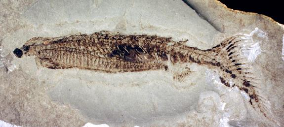 Primitive Fish With Butt Fins Reveals Quirks of Evolution