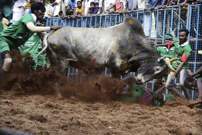 In this Jan. 15, 2020, photo, participants try to control a bull at the annual bull taming event 'Jallikattu' in Avaniyapuram village on the outskirts of Madurai, Tamil Nadu state, India. The deeply held religious ritual had been banned for two years after India's Supreme Court found it cruel. Jallikattu returned to Tamil Nadu in 2017 after tens of thousands of people protested for weeks and forced the government to rush new legislation exempting it from animal cruelty laws. (AP Photo/R.Parthibhan, File)