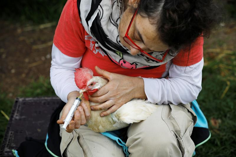 """A volunteer treats a chicken at """"Freedom Farm"""", which serves as a refuge for mostly disabled animals in Moshav Olesh, Israel. (Photo: Nir Elias/Reuters)"""