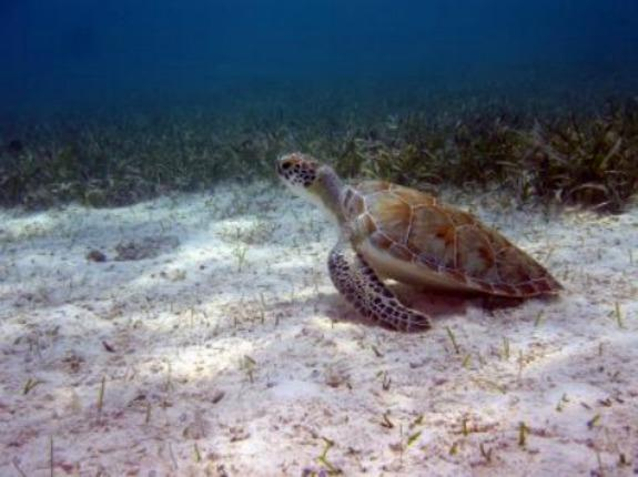 Turtle Trafficking Prompts Arrests in Puerto Rico