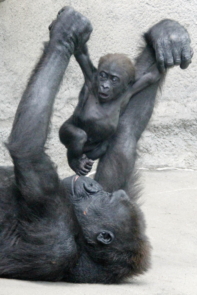 FILE - This file photo from May 2, 2012, shows Moka, an endangered western lowland Gorilla, as she plays with her unnamed 3-month-old baby at the Pittsburgh Zoo and Aquarium in Pittsburgh. The zoo said ob Monday June 4, 2012 that the baby had died on Saturday, June 2, 2012. (AP Photo/Gene J. Puskar, FILE)