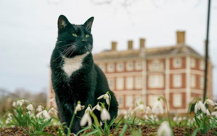 Roscoe the cat who lives at Ham House, a National Trust property in South West London, is one of the few currently able to visit - Andrew Crowley