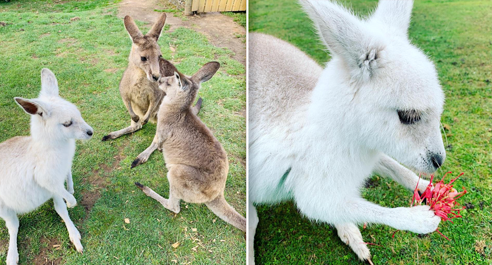 Left - A young Angel with two regular easter grey kangaroos. Right - A young Angel holding a flower close up.