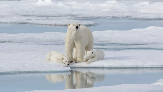 Like narwhal, polar bears are also accumulating mercury at a higher rate, though it's not totally understood why.