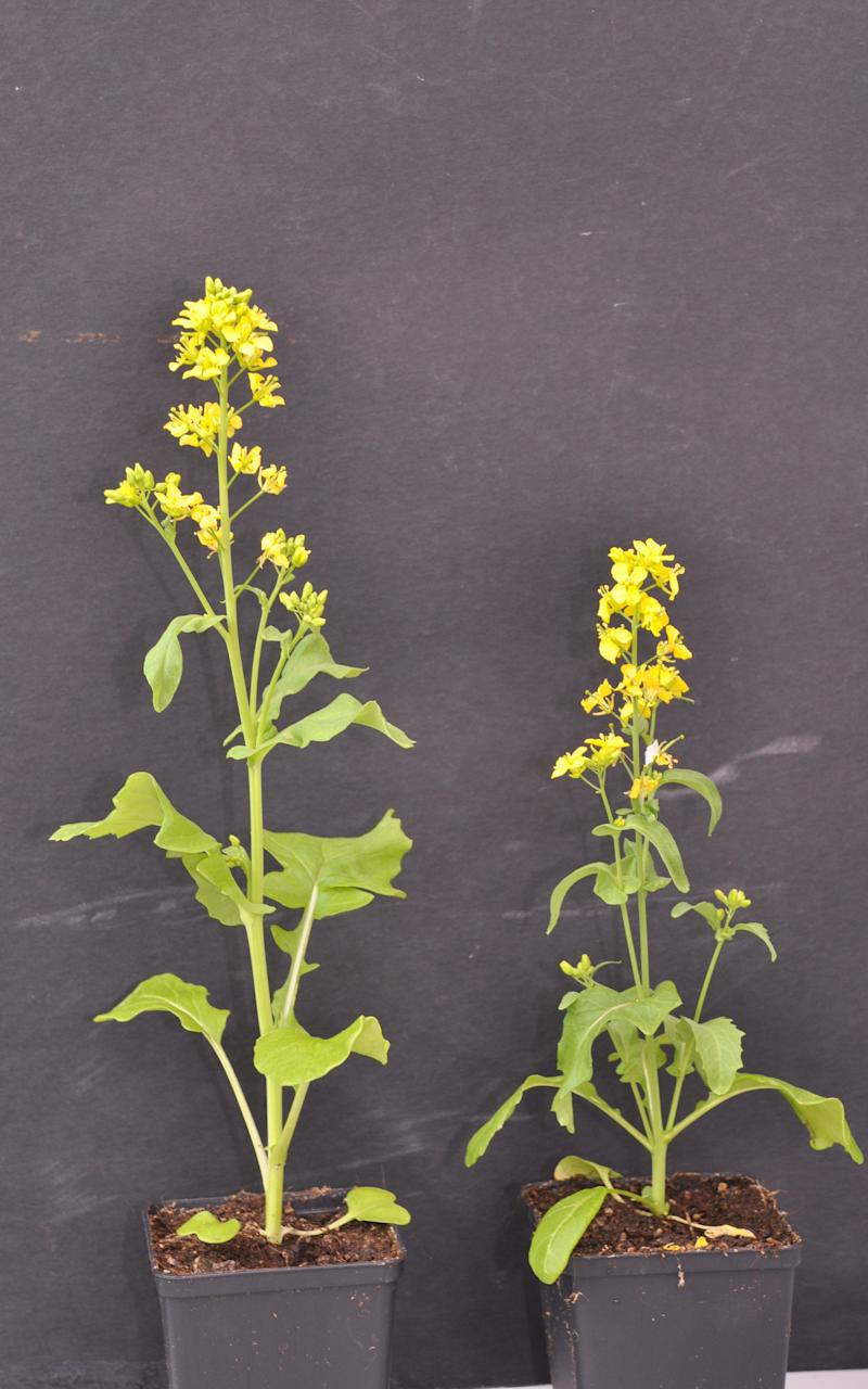 The field mustard plants grew three inches (eight cms) taller when pollinated by bees - Credit: University of Zurich