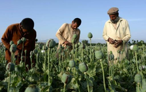 Afghan opium cultivation jumps 10% in 2016: UN