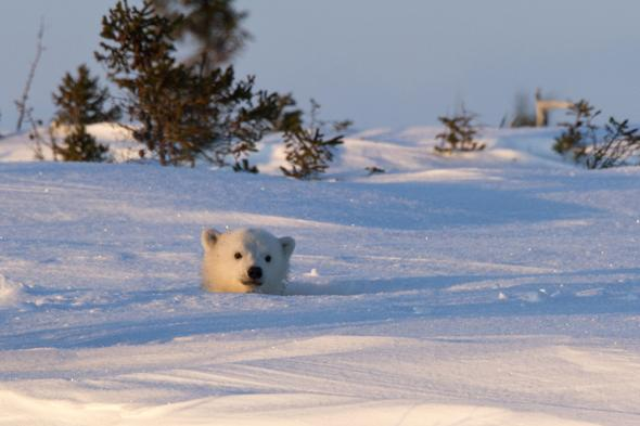 MANDATORY CREDIT: Christine Haines/Rex Features. IMAGES OUTSIDE OF PRINT NEWSPAPER SUBSCRIPTIONS. FEES APPLY FOR UNIQUE IPAD USE.Mandatory Credit: Photo by Christine Haines/REX (3685663e)The mother and the cub peeked out on day eightPolar bear mother and cub peer out from den,Wapusk National Park in Manitoba, Canada - Mar 2014FULL COPY: http://www.rexfeatures.com/nanolink/oqvjAfter wildlife photographer Christine Haines spent eight days watching a polar bear den, she thought she was out of luck in catching sight of them.However her patience in the biting cold of the Wapusk National Park in Manitoba, Canada was rewarded when she managed to steal a few snaps of a first a cub, then its mother peeking out of their hole.Christine explains: