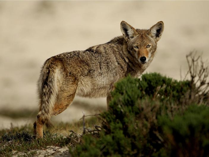 A coyote walks through the sand dunes during the first round of the AT&T Pebble Beach National Pro-Am at at the Spyglass Hill Golf Course on February 11, 2010 in Pebble Beach, California.