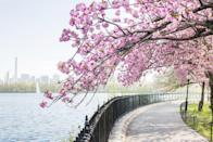 <p>Cherry trees blooming around the Jacqueline Kennedy Onassis Reservoir in Central Park, New York City. </p>