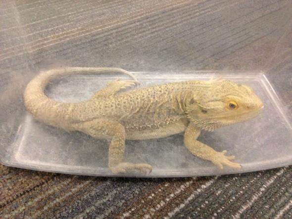 Bearded dragon found on bus in Scotland