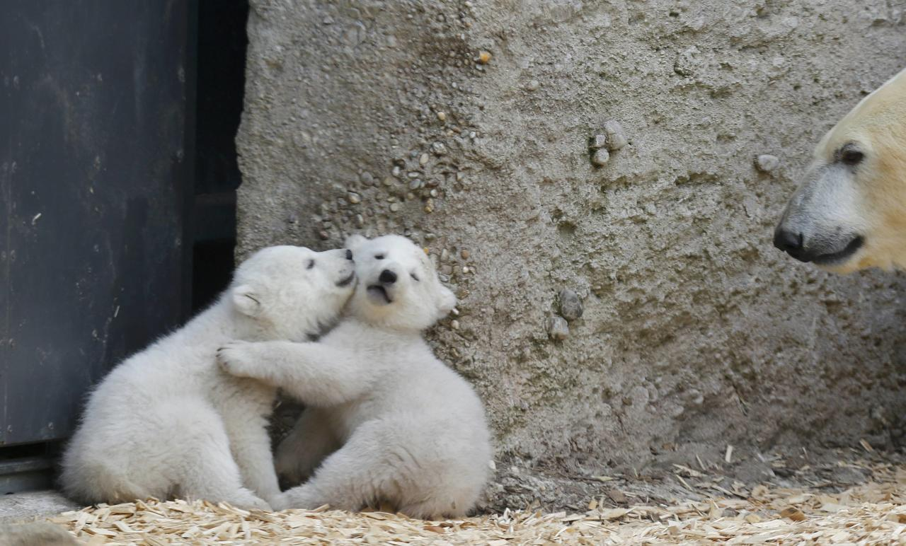 Twin polar bear cubs play as their mother Giovanna watches, outside in their enclosure at Tierpark Hellabrunn in Munich, March 19, 2014. The 14 week-old cubs, who made their first public appearance on Wednesday, have yet to be named. REUTERS/Michael Dalder (GERMANY - Tags: ANIMALS SOCIETY)