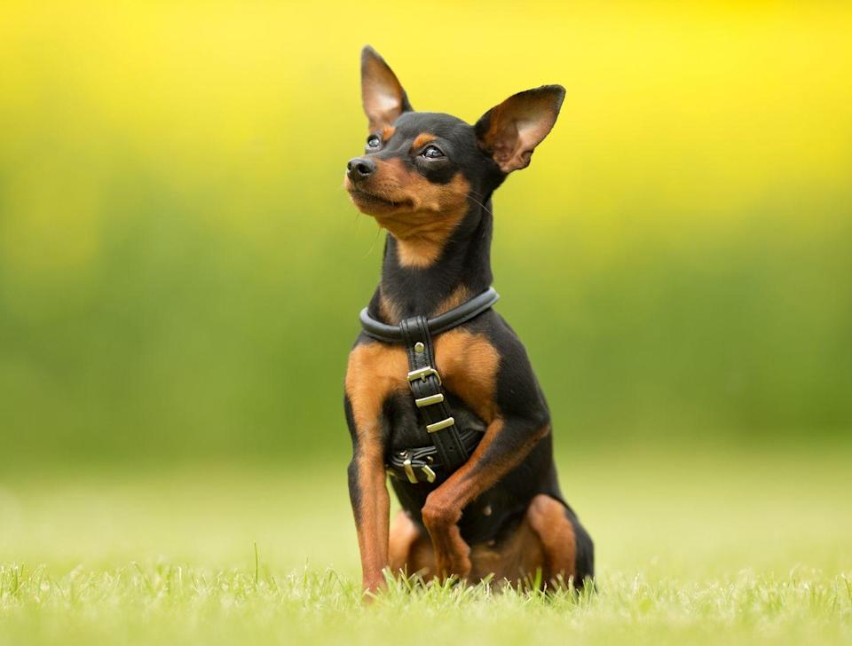 """<p>As its name implies, this is a miniature dog breed. Larger Pinschers include German Pinschers, which can <a href=""""https://dogtime.com/dog-breeds/german-pinscher#/slide/1"""" rel=""""nofollow noopener"""" target=""""_blank"""" data-ylk=""""slk:weigh up to 45 pounds"""" class=""""link rapid-noclick-resp"""">weigh up to 45 pounds</a> and Doberman Pinschers that clock in <a href=""""https://dogtime.com/dog-breeds/doberman-pinscher"""" rel=""""nofollow noopener"""" target=""""_blank"""" data-ylk=""""slk:around 80 pounds"""" class=""""link rapid-noclick-resp"""">around 80 pounds</a>, per Dogtime.com. But Min Pins, as they're known, <a href=""""https://www.akc.org/dog-breeds/miniature-pinscher/"""" rel=""""nofollow noopener"""" target=""""_blank"""" data-ylk=""""slk:weigh just eight to 10 pounds"""" class=""""link rapid-noclick-resp"""">weigh just eight to 10 pounds</a>, according to the AKC.</p>"""