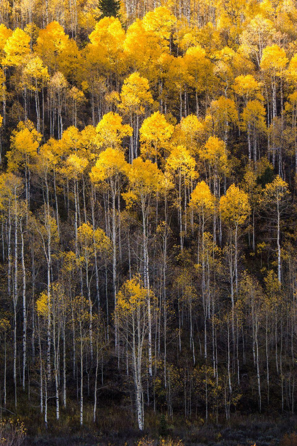 "<p>Pando (Latin for ""I spread out"") is a group of genetically identical quaking aspens in Utah with an interconnected root system. It's an estimated 80,000 years old and takes up more than 100 acres. </p>"