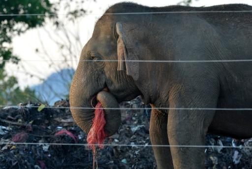 Hundreds of Sri Lanka's wild elephants now scavage at rubbish dumps, risking their health due to plastic scraps mixed with rotting food