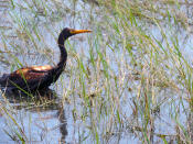 This undated photo provided by the Louisiana Department of Wildlife and Fisheries shows an oiled tricolored heron observed at the Alliance Refinery oil spill in Belle Chasse, La. Louisiana wildlife officials say they have documented more than 100 oil-soaked birds near after crude oil spilled from a refinery flooded during Hurricane Ida. The Louisiana Department of Wildlife and Fisheries said Thursday, Sept. 9, 2021 that a growing number of oiled birds had been observed within heavy pockets of oil throughout the Phillips 66 Alliance Refinery in Belle Chasse, as well as nearby flooded fields and retention ponds along the Mississippi River. (Louisiana Department of Wildlife and Fisheries via AP)