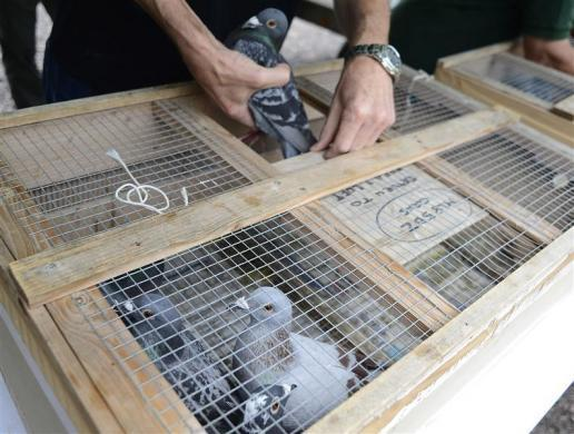 A racing pigeon is being loaded for the One Loft race at Birtsmorton, central England August 25, 2012.