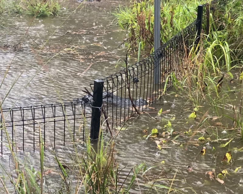 Crocodiles were filmed lingering near the fences of their enclosures as water rose. Source: The Australian Reptile Park
