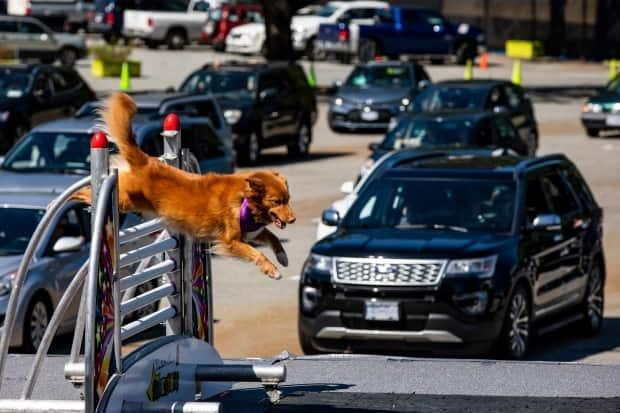 A dog jumps over an obstacle while guests watch from their vehicles during the 2020 PNE, which was heavily modified to allow some traditional attractions to be experienced in a physically distanced way.