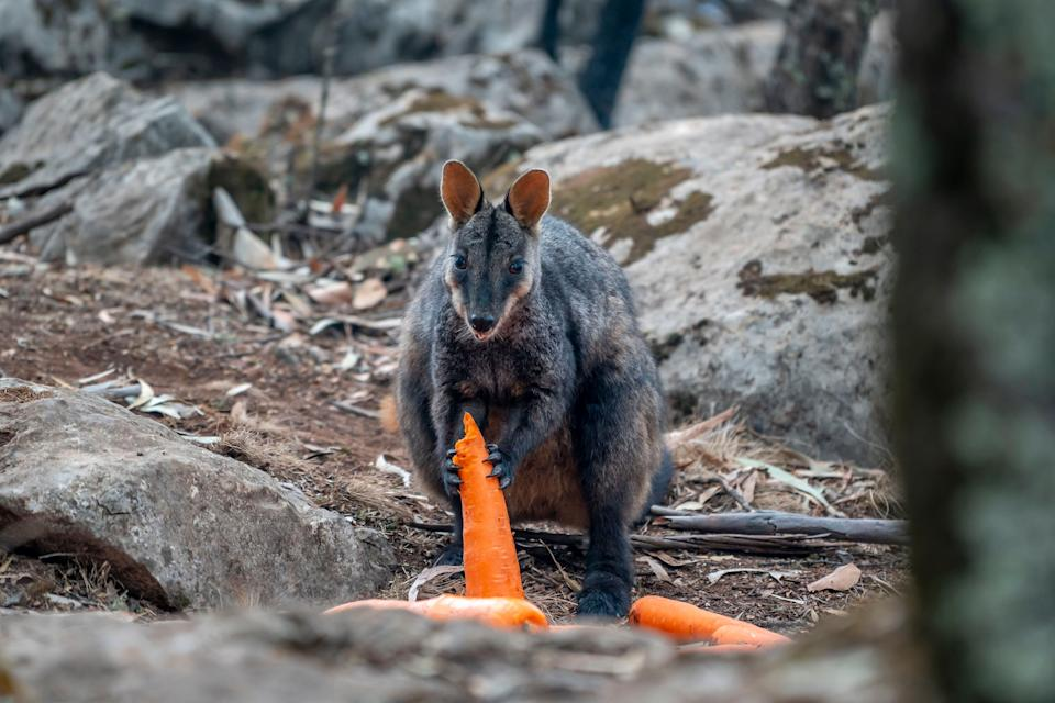 A brush-tailed rock-wallaby enjoys a carrot after thousands of pounds of vegetables were airdropped across New South Wales after the bushfires. (Photo: New South Wales government)