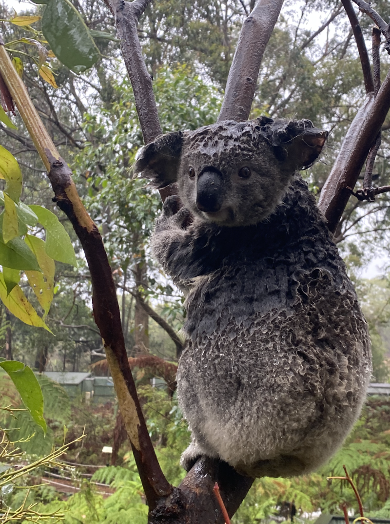 A very wet koala is seen clinging to a tree as the rain falls. Source: The Australian Reptile Park