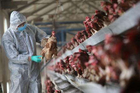A quarantine researcher checks on a chicken at a poultry farm in Xiangyang
