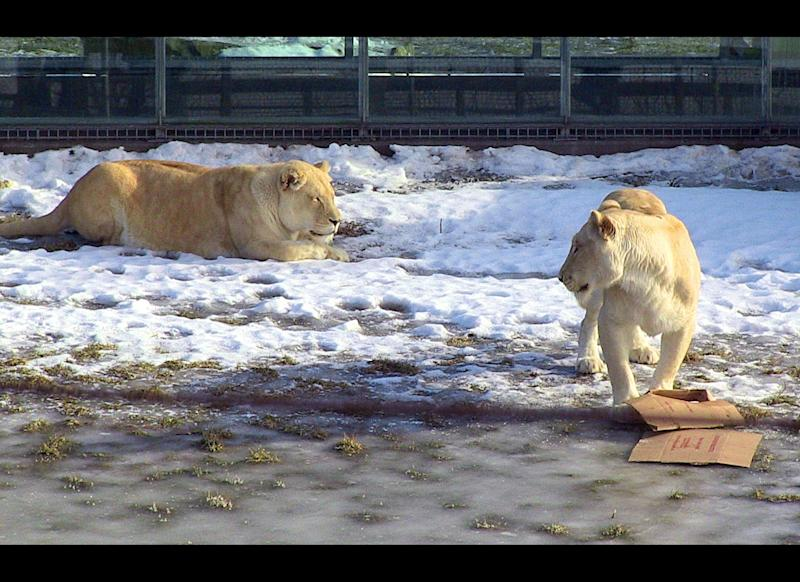 White lions from South Africa are seen in their snow-covered enclosure at the Parc Safari in Hemmingford, Quebec, Canada on January 26, 2012. Despite the cold, the lions have adjusted to the Canadian winter, according to Parc Safari Director Sophie Robidoux. AFP PHOTO/MICHEL VIATTEAU (Photo credit should read MICHEL VIATTEAU/AFP/Getty Images)