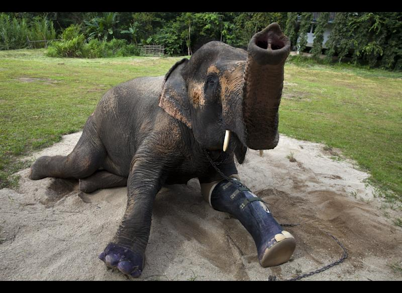 Motala, age 50, rests in the afternoon sun with the new prosthetic made for her at the Friends of the Asian Elephant (FAE) elephant hospital in the Mae Yao National Reserve August 29, 2011 Lampang,Thailand. Motala lost a foot many years back after stepping on a land mine and now is on her third prosthetic, as they need to be changed according to the weight of the elephant. The world's first elephant hospital assists in medical care and helps to promote a better understanding of the elephant's physiology, important in treating them for illness. For generations elephants have been a part of the Thai culture, although today the Thai elephant mostly is domesticated animal, since Thailand now has few working elephants. Many are used in the tourism sector at special elephant parks or zoos, where they perform in shows. In some cases Thailand is still deals with roaming elephants on the city streets, usually after the mahout, an elephant driver, becomes unemployed, which often causes the elephant serious stress.
