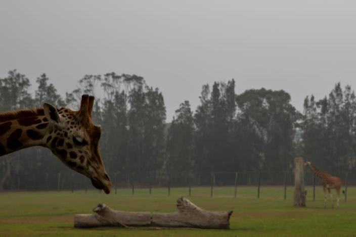 Giraffes are seen at Mogo Zoo in the village of Mogo