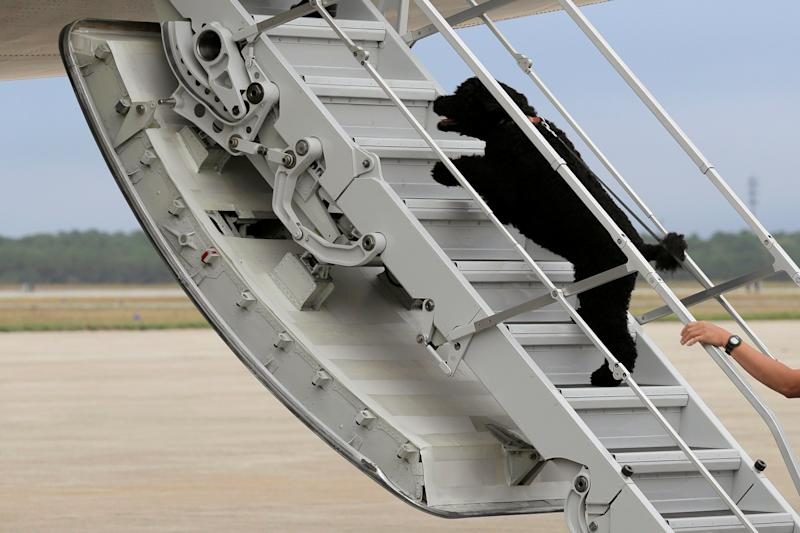 U.S. President Barack Obama's dog Sunny dashes aboard Air Force One at Cape Cod Coast Guard Air Station in Buzzards Bay, Massachusetts, U.S., August 21, 2016. REUTERS/Joshua Roberts