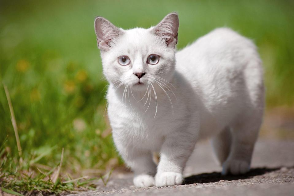 Cat Breeds That Look Like Kittens