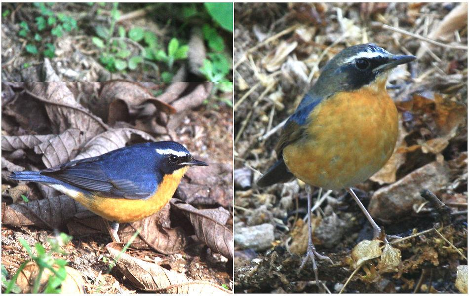 <b>Indian Blue Robin:</b> A winter visitor from the Himalayas, the Indian Blue Robin forages in the undergrowth. The signature white eyebrow, a black eye patch, and orange breast make for a visiting card with great brand recall!