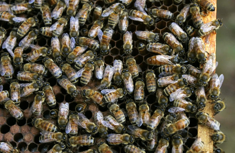 Honey bees gather on a moveable comb hive at the Bee Research Laboratory, in Beltsville, Maryland on August 22, 2007