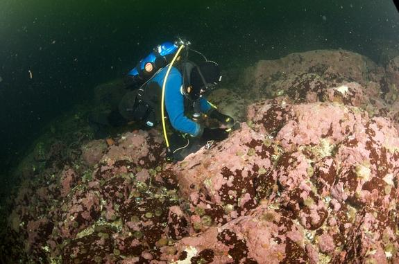 A diver dislodging coralline red algal crust from a rock surface using a hammer and chisel in the near-freezing waters of the Labrador Sea.