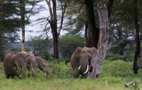 Elephants are seen within the Kimana Sanctuary within the Amboseli ecosystem in Kimana