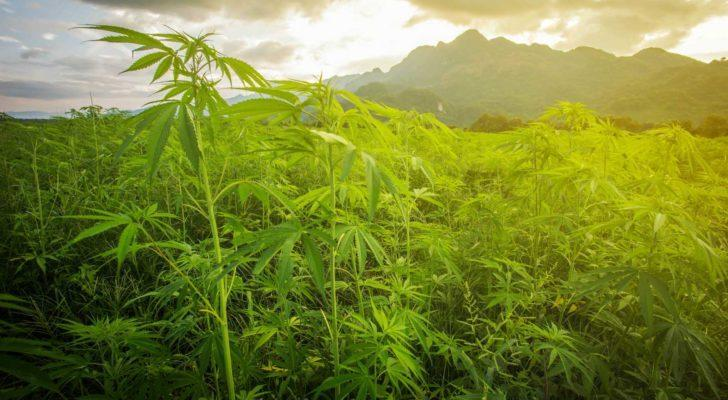 CRON stock: field of lush green marijuana plants with morning sun and mountain in background