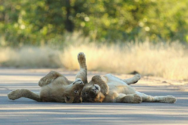 Young male lions relax on a sealed road at the Pafuri game reserve in Kruger National Park, South Africa.