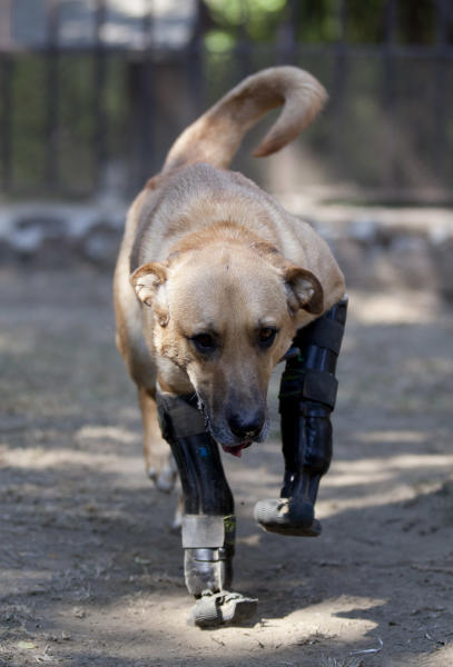 "Belgian shepherd mix, Pay de Limon or Lemon Pie, walks on his prosthetic front legs on the grounds of the ""Milagros Caninos,"" sanctuary for abused and abandoned dogs, in Mexico City, Friday, Jan. 11, 2013. Sanctuary owner Patricia Ruiz says Pay de Limon, was found last February in a trash can where he was left to die after his two fronts legs were cut off. She says people who asked her to help Pay de Limon told her that drug traffickers used the dog to practice for mutilating humans. Pay de Limon is one of 128 abused dogs living in the vast Milagros Caninos sanctuary in southern Mexico City. (AP Photo/Eduardo Verdugo)"