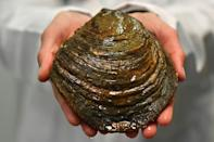 This oyster, dubbed Grand Ma by the researchers, is over 15 years old