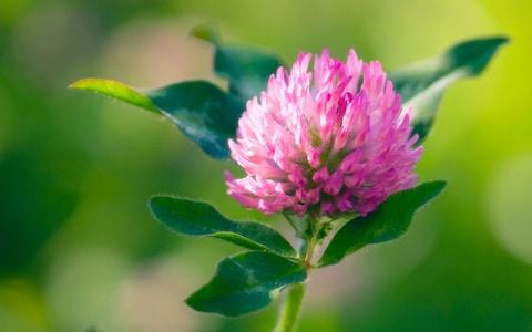 Red clover - Credit: Alamy