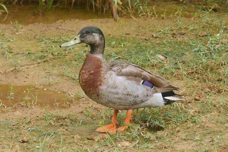 "Trevor, a mallard, was dubbed the ""loneliest duck in the world"" after being blown onto isolated Niue island from New Zealand during a Pacific Storm"