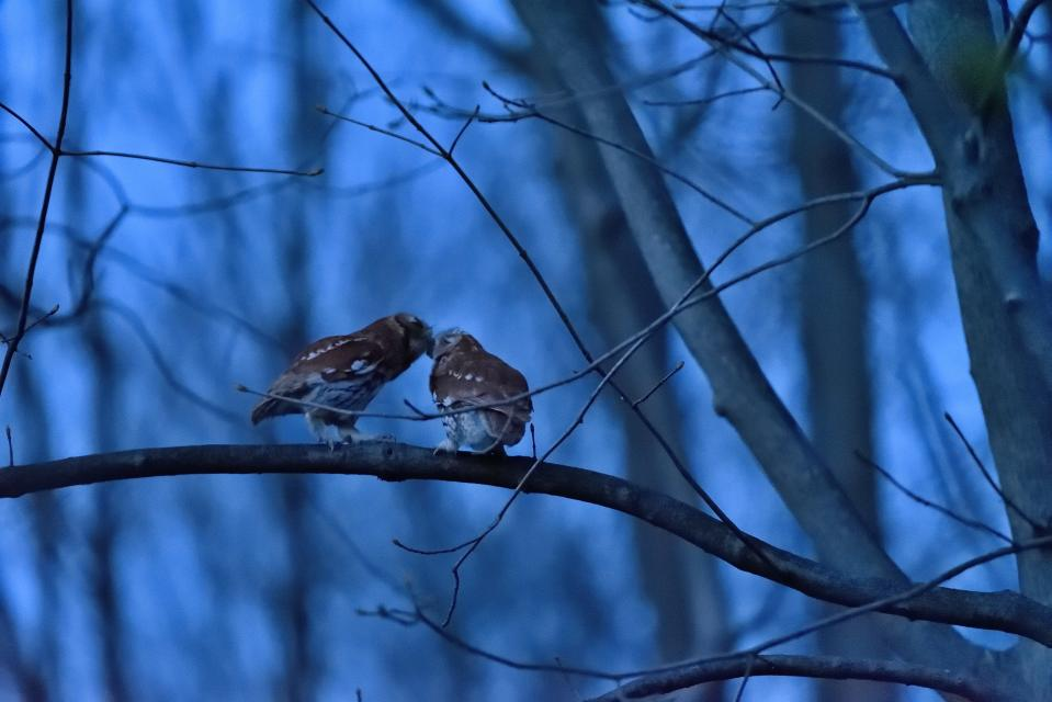 Naturalist and author Carl Safina says since his book tour was canceled due to the coronavirus pandemic, it's forced him to slow down. He says it's given him time to watch two screech owls court in his Long Island, NY backyard. (Photo: Carl Safina)