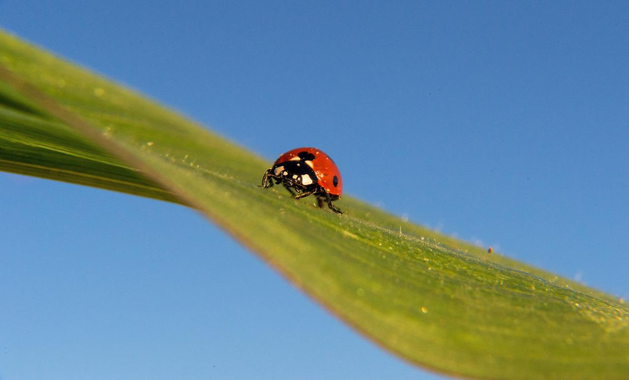 <p>A ladybird sits on the leaf of a corn plant, and is illuminated by the rising sun at Visselhoevede (Niedersachsen), Germany, July 20, 2016. In the sky behind it, not even one cloud is seen. (Photo: DANIEL REINHARDT/EPA)</p>