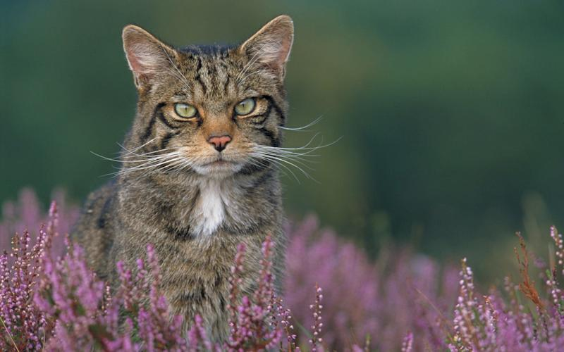 A wildcat peers above the Scottish heather - the report found the species is now endangered - Barcroft Media