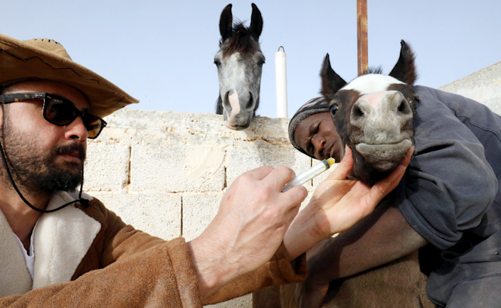 Breeder and trainer of purebred Arabian horses Abdul Salam al-Worfali giving a horse some medicine in Benghazi, Libya - Monday 22 March 2021