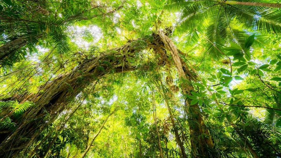 A view of the canopy of the Daintree rainforest from the forest floor