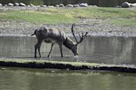 Pere David's deer were on the verge of disappearing towards the end of the 19th century (AFP/Jade GAO)