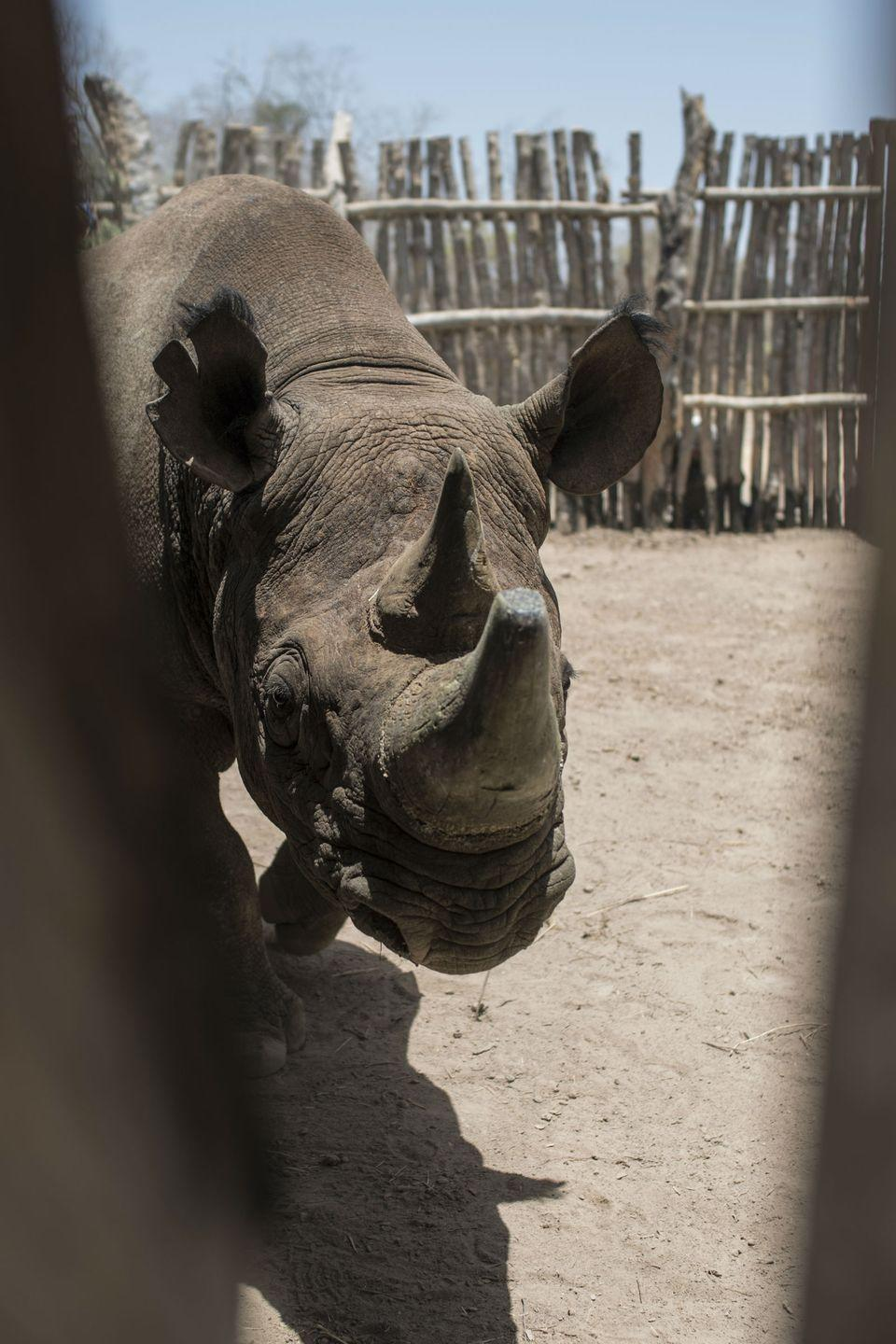 "<p><strong>Scientific classification:</strong> <em>Diceros bicornis</em></p><p><strong>Location:</strong> Eastern and Southern Africa</p><p>Bit by bit, the black rhino is disappearing from the world. Most recently, the western black rhino was declared extinct in 2011. Only one subspecies—the south-western black rhinoceros—is managing to hold on beyond the threat of being considered endangered. The International Union for Conservation of Nature considers it ""near threatened.""</p><p>The entire wider species has <a href=""https://www.worldwildlife.org/species/black-rhino"" rel=""nofollow noopener"" target=""_blank"" data-ylk=""slk:fallen in population by 98 percent"" class=""link rapid-noclick-resp"">fallen in population by 98 percent</a> in just the last 60 years. Poaching represents one of the biggest threats to the survival of the rhino, as its horn is used in traditional folk medicine in China. Only 5,500 rhinos remain on the African continent, though there are concerted efforts to boost those numbers.<br></p>"